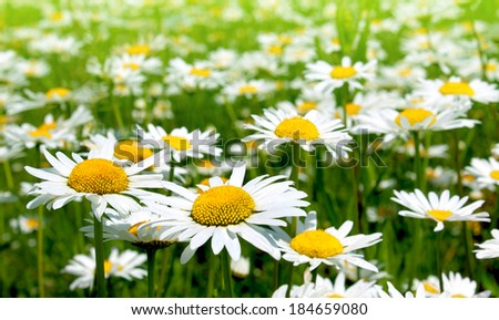 Field of daisy flowers, chamomile flowers - stock photo