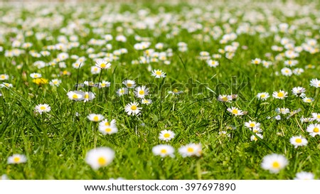 field of daisy flowers.  flower meadow - stock photo