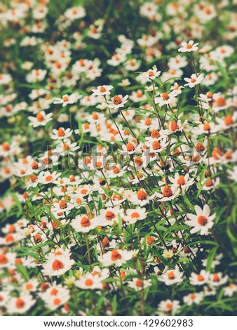 field of daisy flowers (Vintage filter effect used)