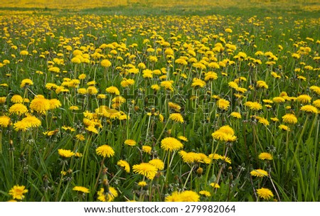 Field of dandelions in a spring. - stock photo