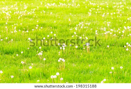 Field of dandelions, spring blur background. selective focus, toned - stock photo