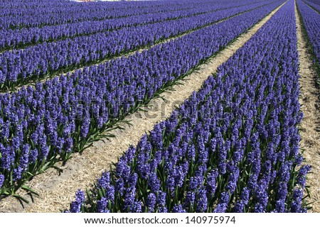 Field of deep purple hyacinths at the Keukenhof in The Netherlands - stock photo
