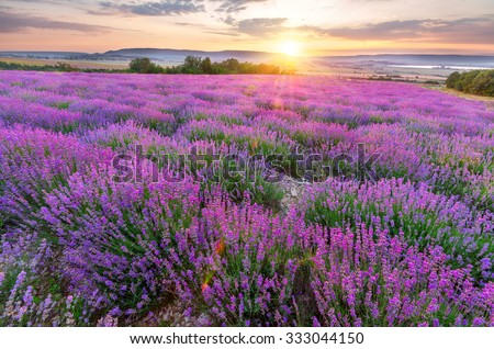 Field of delicate lavender flowers against the setting sun - stock photo
