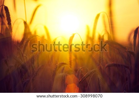 Field of Dry Golden Wheat. Harvest Concept. Barley in sunset light, flares, glow sun. Crop field - stock photo