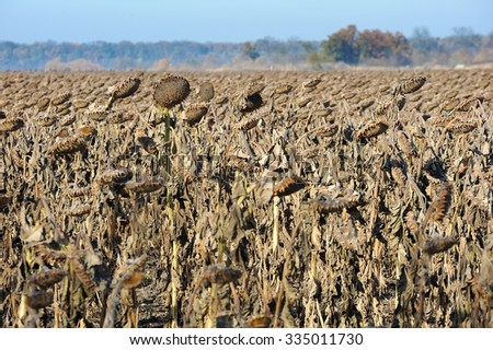 Field of dry sunflowers in the fall before the harvest - stock photo