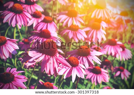 Field of echinacea flowers and sunshine - stock photo