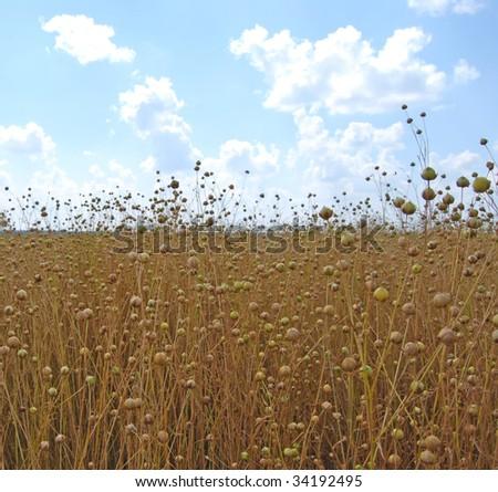 field of flax - stock photo