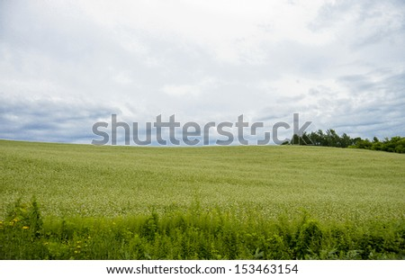 Field of flower potato with cloudy sky - stock photo
