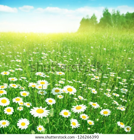 Field of flowering chamomiles under bright blue sky. - stock photo