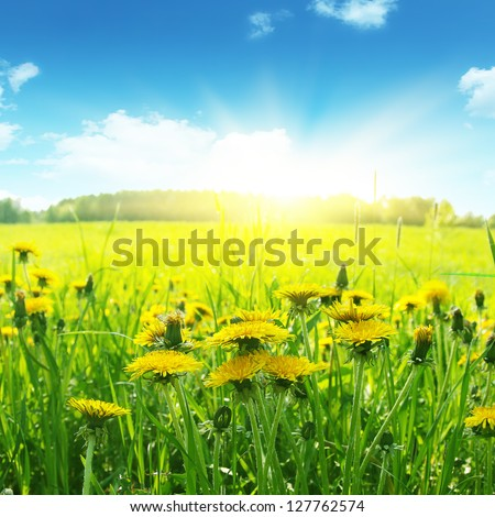 Field of flowering dandelions, blue sky and bright sun. - stock photo