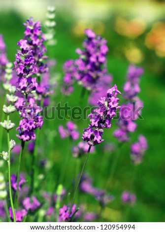 Field of flowering Lavarder plants - stock photo
