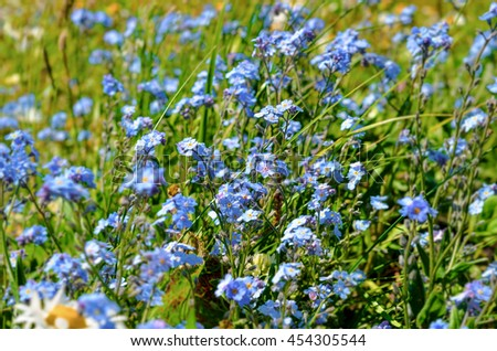 Field of Flowers forget-me-not close-up - stock photo