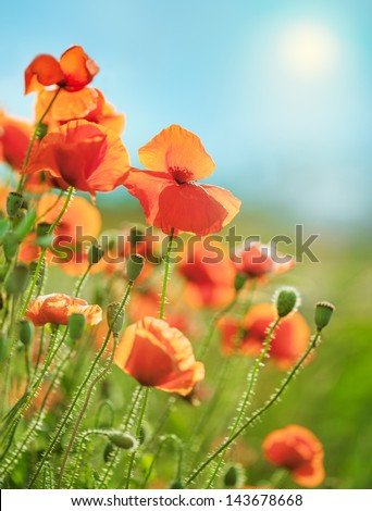 Field of flowers in the spring, poppies - stock photo