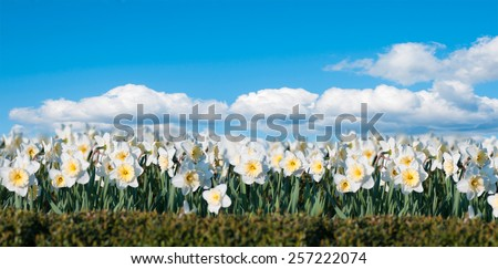 field of flowers Narcissus on the background of blue sky panorama - stock photo