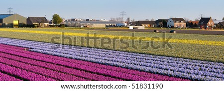 Field of flowers. Panoramic photo. Dutch flower industry. The Netherlands