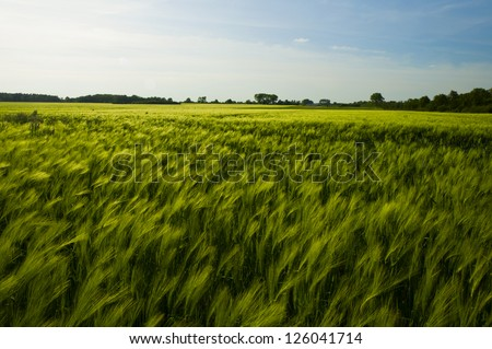 field of fresh green barley in spring - stock photo