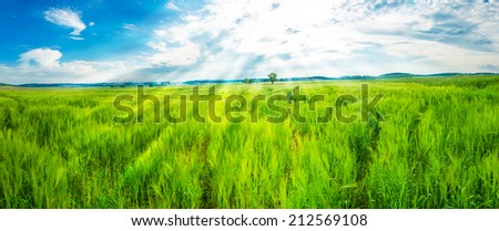 Field of fresh young green wheat and a blue sky with a shining sun