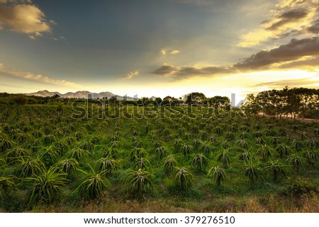 field of fruit tree planting (dragon fruit) in the province of Binh Thuan, Vietnam