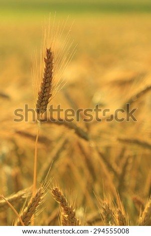 field of gold and ripe ears of corn - stock photo