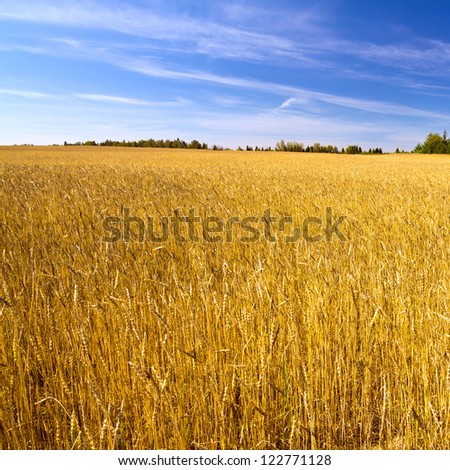 Field of golden wheat under blue sky - stock photo
