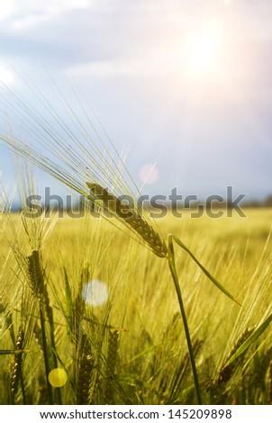 Field of grain - stock photo