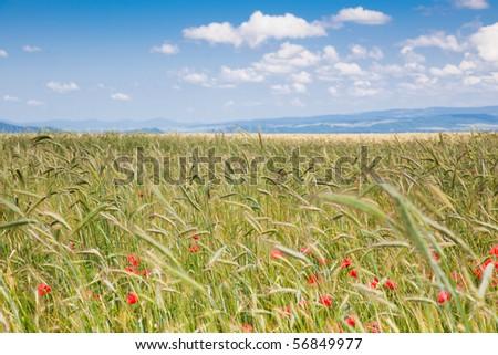 Field of grain in the countryside, Brasov County, Romania, June 2010 - stock photo