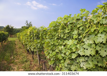 Field of grape vines in countryside.