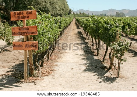 field of grapes in the summer, vineyard in Chile - stock photo