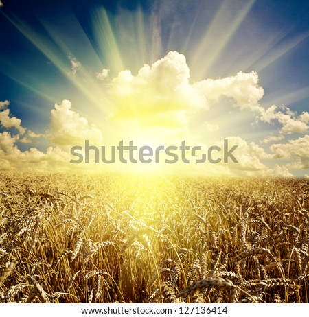 field of grass. background meadow wheat under sky - stock photo