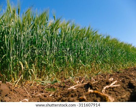 field of green barley field in early summer, close-up   - stock photo