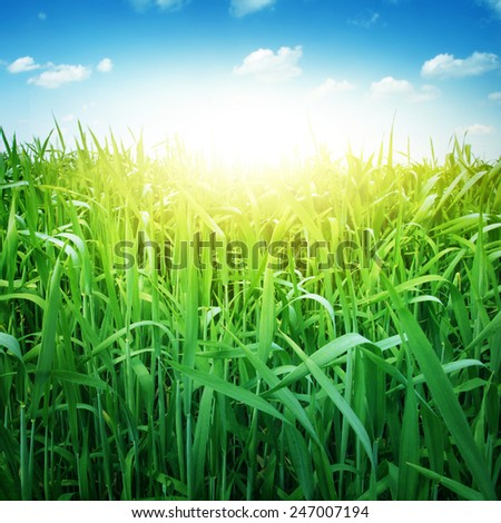 Field of green grass and bright blue sky. - stock photo
