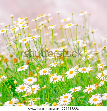 field of green grass and camomiles as background in the nature, soft light, closeup - stock photo