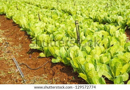 Field of Green Leaf and  lettuce crops growing in rows on a farm ,Thailand