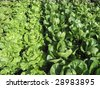 Field of Green Leaf and Romaine lettuce crops growing in rows on a farm - stock photo