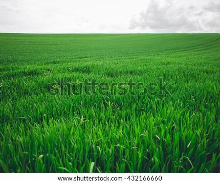 Field of green wet grass .  wheat field - stock photo