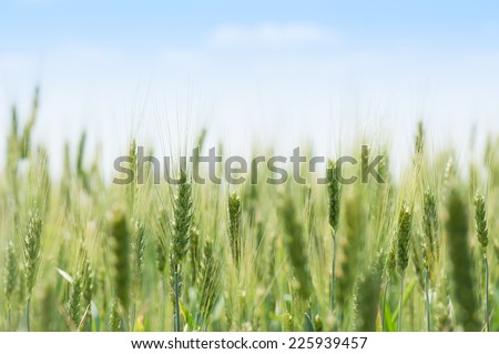 field of green wheat and blue sky