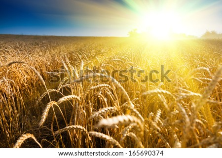 Field of green wheat and colorful sunset - stock photo