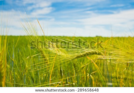 field of green wheat in summer day