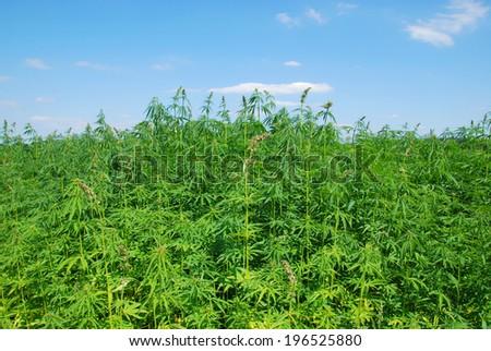 Field of hemp. Industrial kind - stock photo
