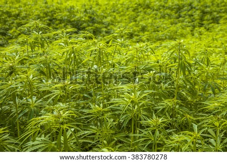 Field of Hemp plantation with Flower Buds and Shallow Background - stock photo