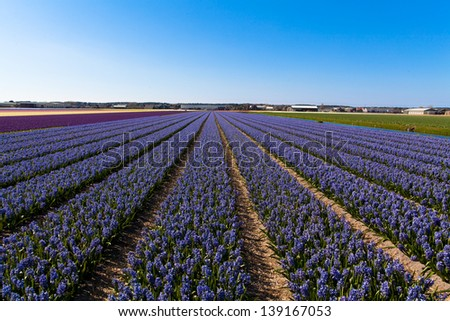 field of hyacinth.