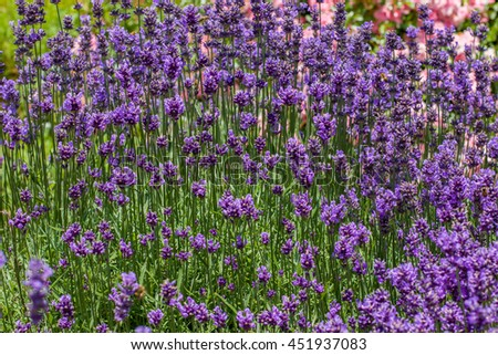 Field of lavender flowers in blossom