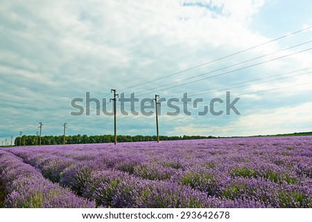 Field of lavender flowers, nature landscape - stock photo