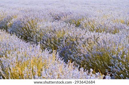 Field of lavender flowers, nature landscape - stock photo