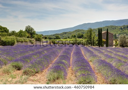 Field of lavenders in Luberon - Provence (France)