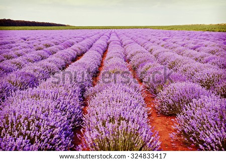 Field of lilac lavender flowers in Bulgaria