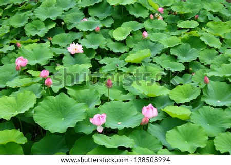 Field of lotus flowers in Kyoto - stock photo