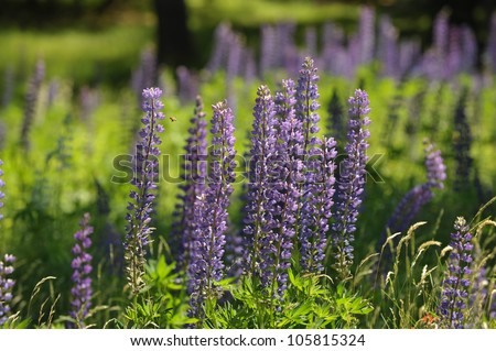 Field of Lupine Flowers in a large field in summer
