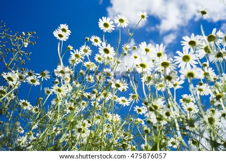 Field of many white camomile on the blue sky background. Soft focus