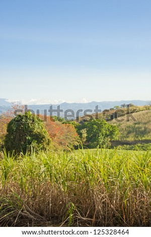 Field of mature sugar cane ready to be harvested in Costa Rica. - stock photo